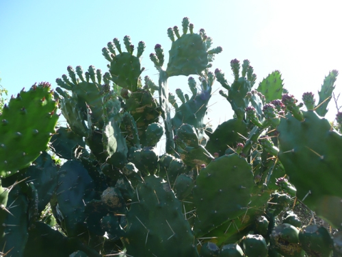 Prickly pear. I just found out that these are not indigenous to the area.