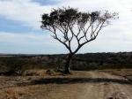 Acacia tree. So Africa.